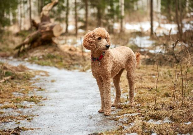 Brauner Pudel Pudel Hund Aktivitaten Standard Pudel