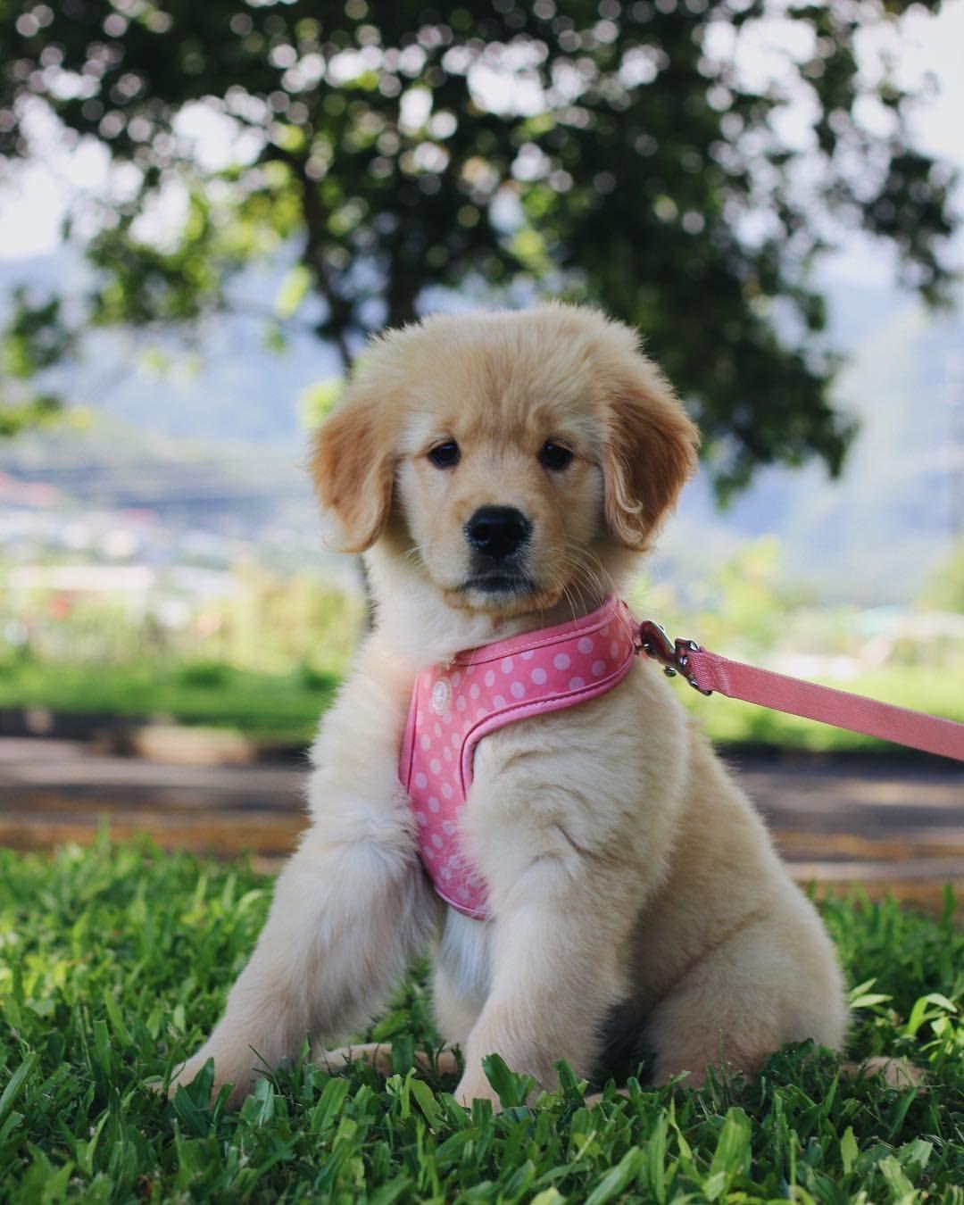 Staygoldenhoney Golden Retriever Golden Retriever Puppy Puppies