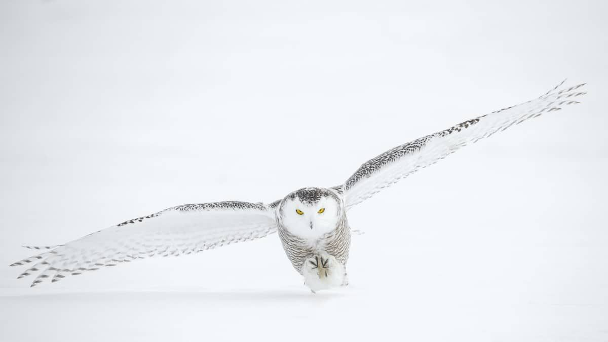 55 Beautiful Winter Wallpapers All About Snow Frost And Ice Inspirationfeed Owl Pictures Winter Wonderland Wallpaper Snowy Owl
