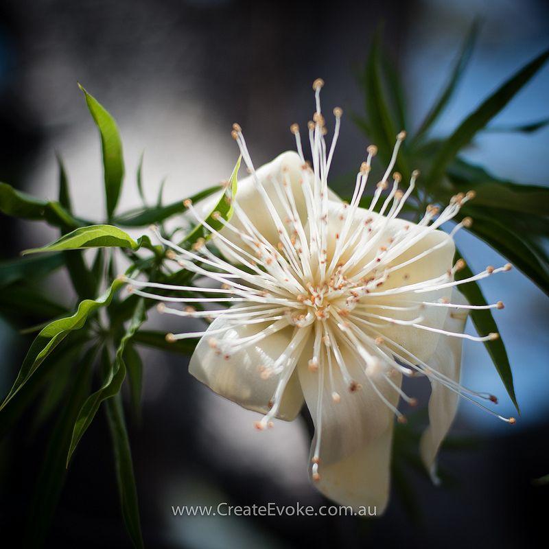 Boab Tree Flower Flowers Flowers Australia Flower Essences