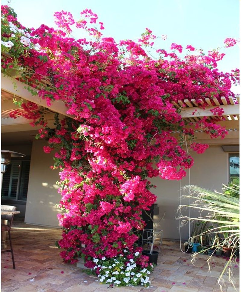 12 Best Climbing Flowers For Pergolas And Trellises Matchness Com Climbing Flowers Garden Vines Flowering Vines