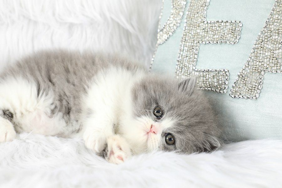Persian Kittens For Sale Downy Persian Kittens For Sale Persian Kittens Persian Cats For Sale