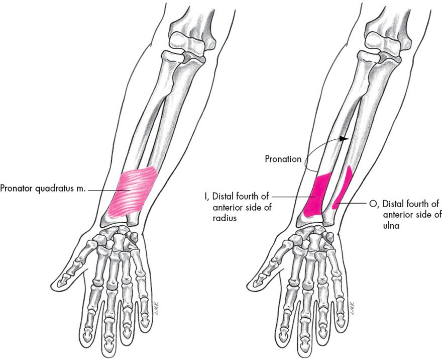 pronator quadratus is a square muscle on the distal