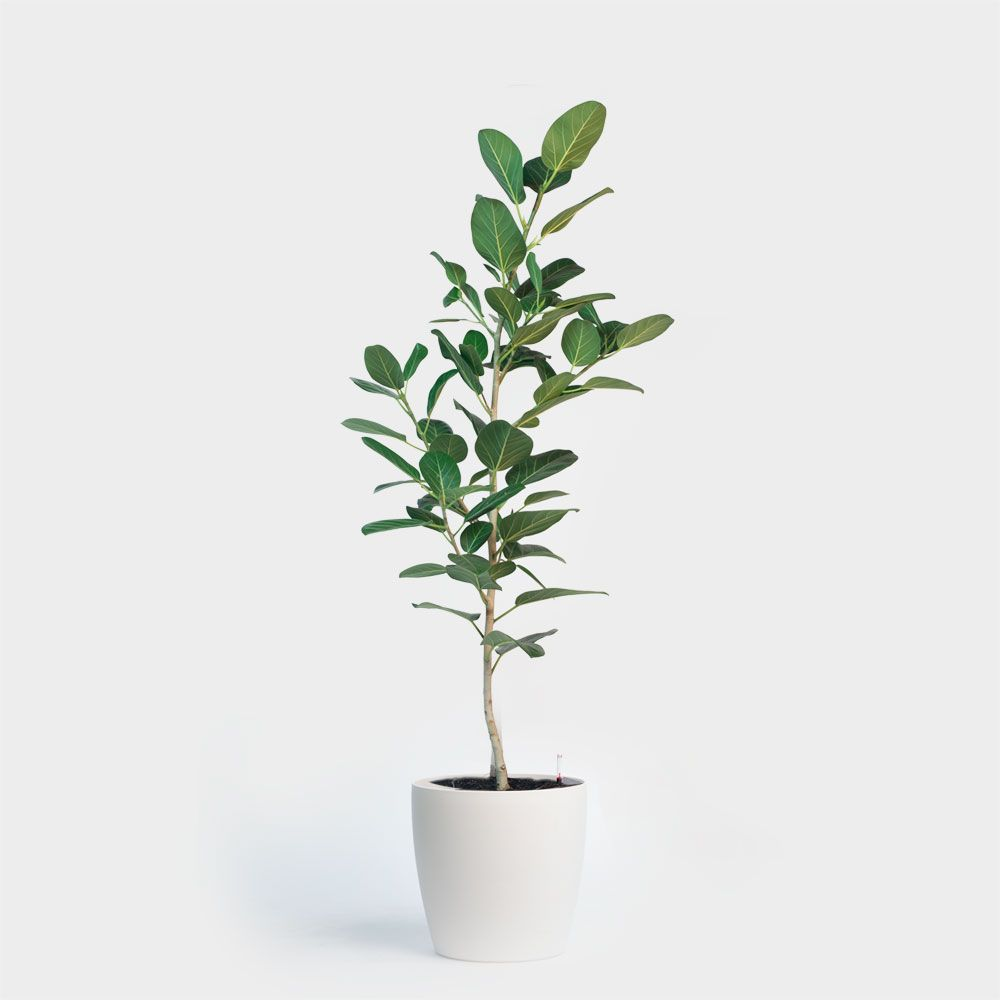 Ficus Audrey Plant Delivery New York City