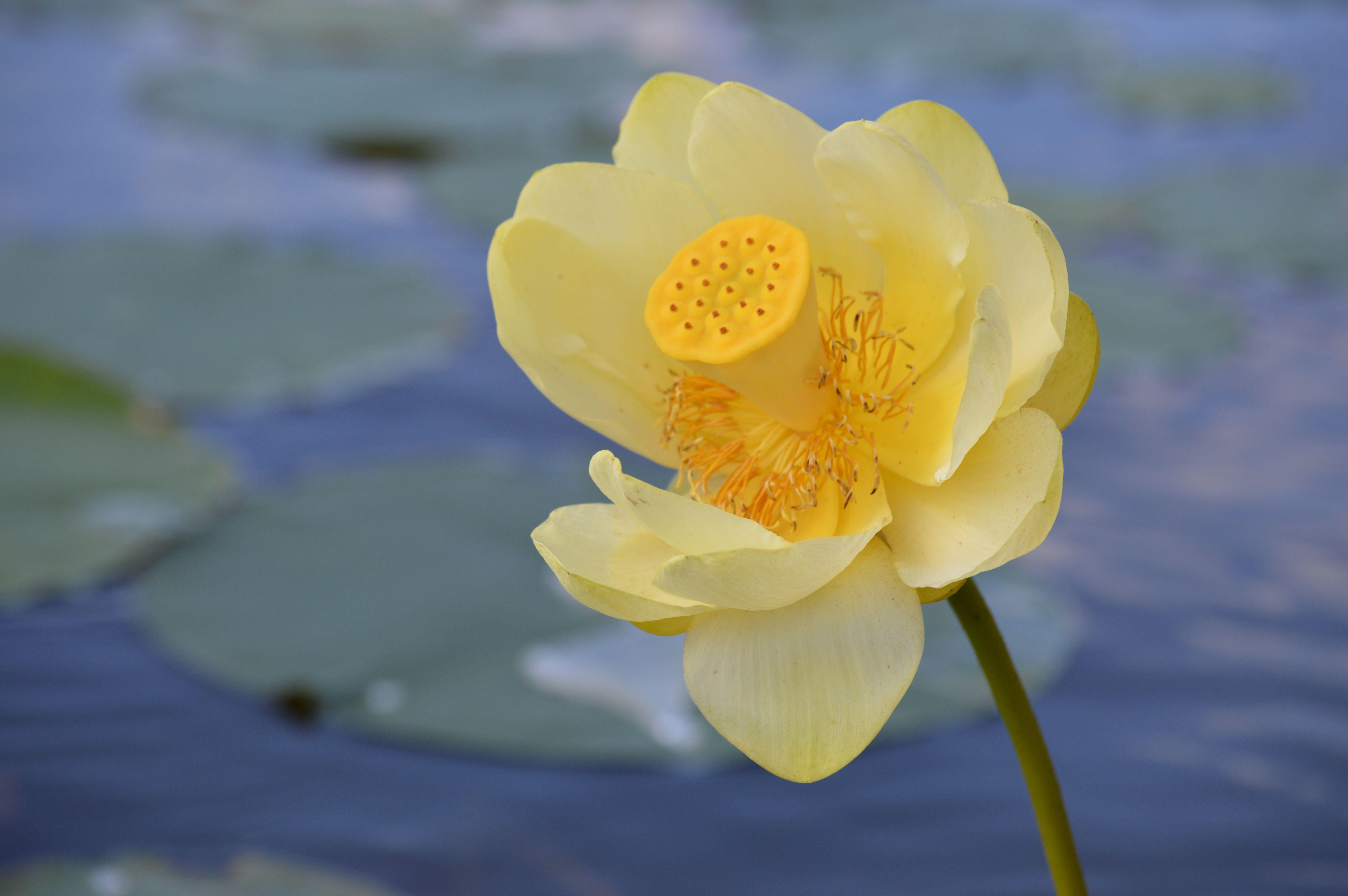 American Lotus On Lotus Lake Chanhassen Mn American Lotus