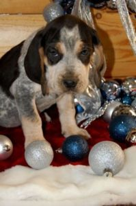 Blue Tick Hound Lethbridge Dogs Puppies For Sale Kijiji