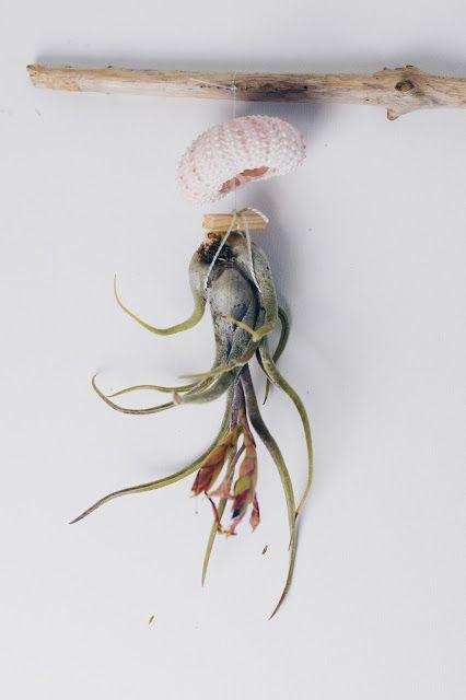 jellyfish dekoration und tillandsien airplant pflege zimtzebra sea. Black Bedroom Furniture Sets. Home Design Ideas