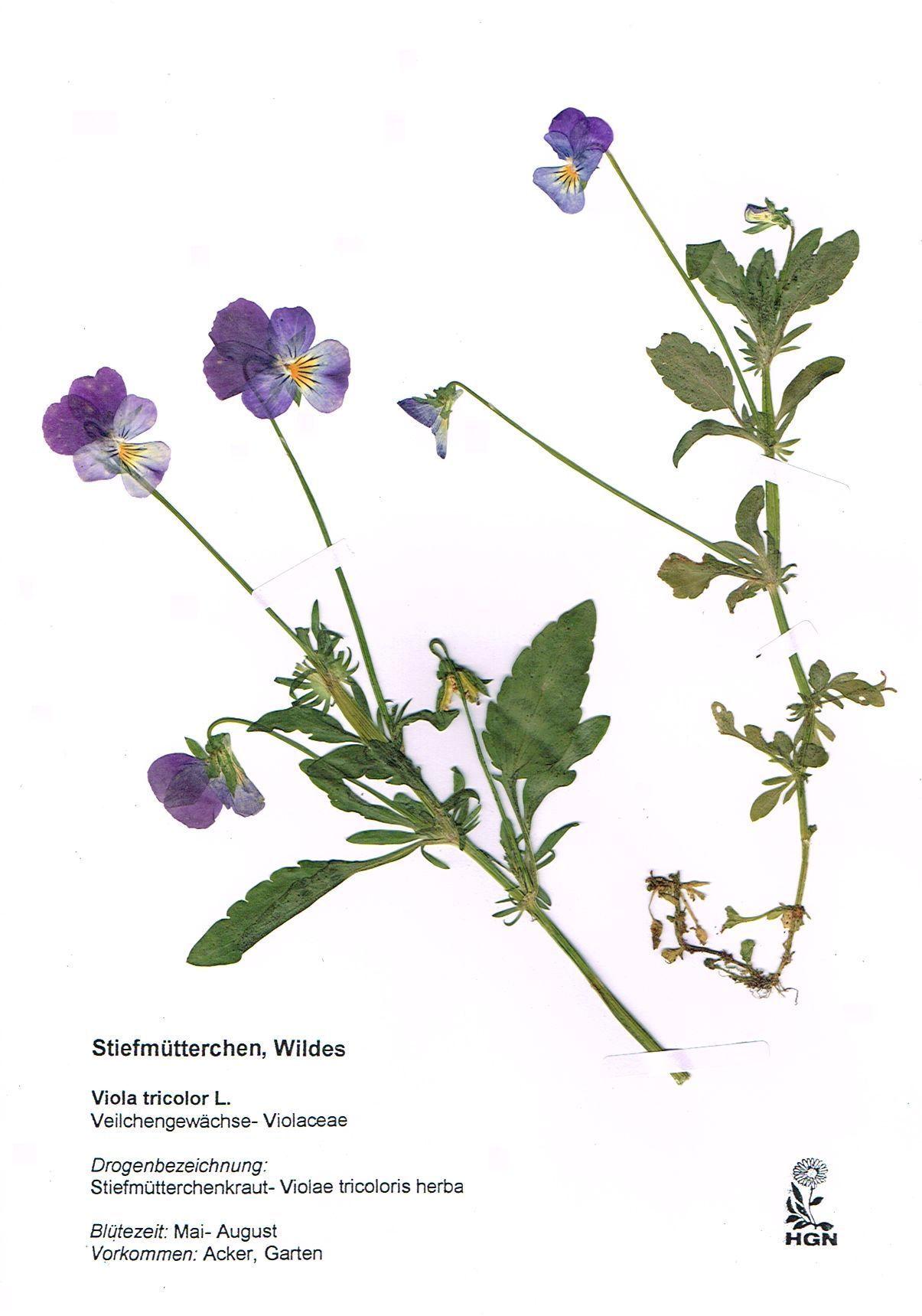 herbarium google herbarium pinterest. Black Bedroom Furniture Sets. Home Design Ideas