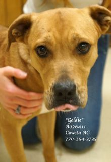 """B-10 ((URGENT!!)) GOLDIE-A026411, female Lab. Retriever mix., vaccinated, HW pos. (treatable), PLEASE CONTACT COWETA COUNTY ANIMAL CONTROL TO ADOPT: 770-254-3735 Newnan, GA.   """"Goldie"""" is a SWEET lady who would love nothing more than to be part of a loving family.  She's laid back, willing to please & she ADORES people. This poor girl's been at the shelter for a long time, she's starting to lose hope that anyone will chose her & seems depressed.  Her time is rapidly coming to an end."""