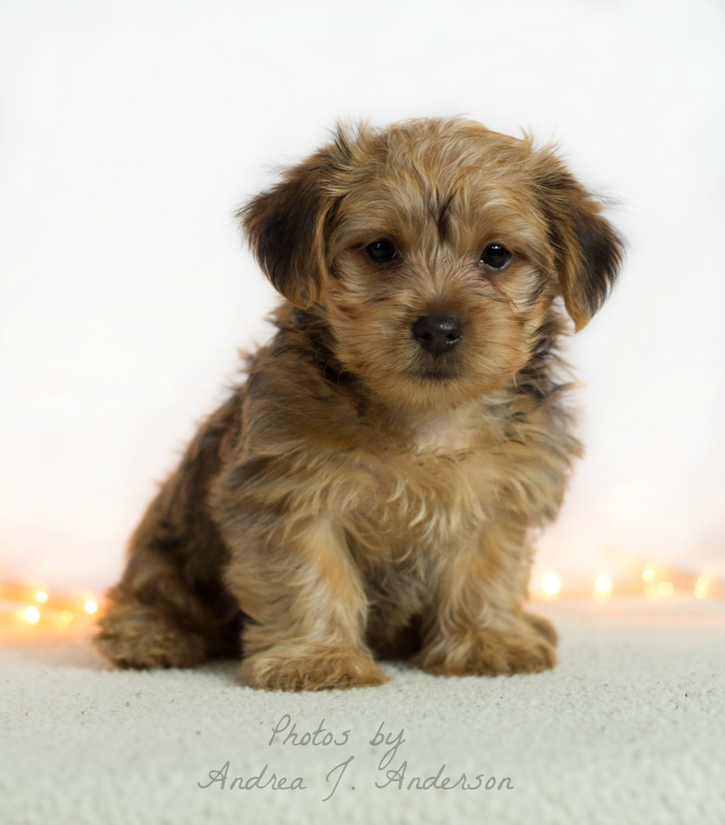 Morkie Puppy Www Facebook Com Andreaphotos Morkie Puppies Puppies Pets