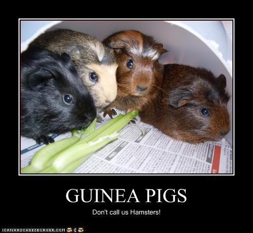 Pin On Funny Guinea Pigs