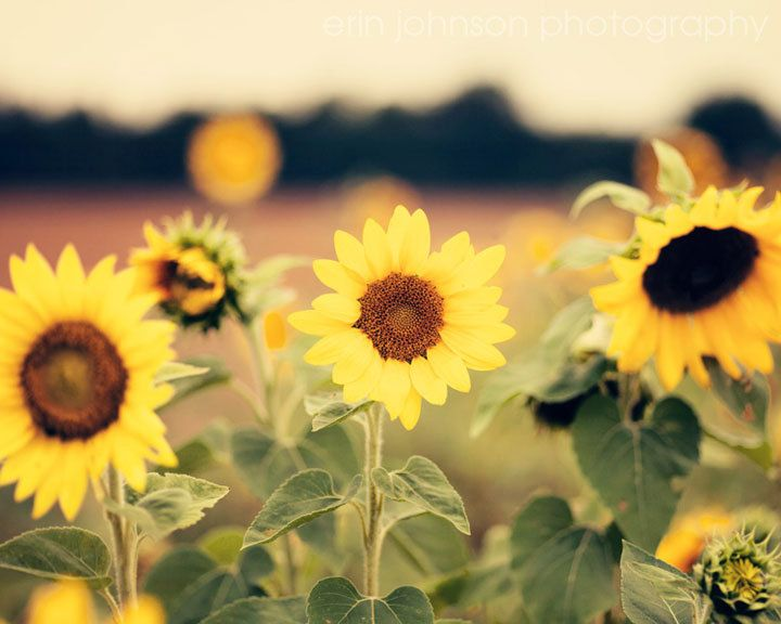 landscape sunflower photography, yellow home decor, rustic ...