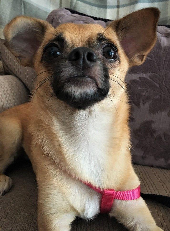 Chug dog for Adoption in Newnan, GA. ADN668529 on