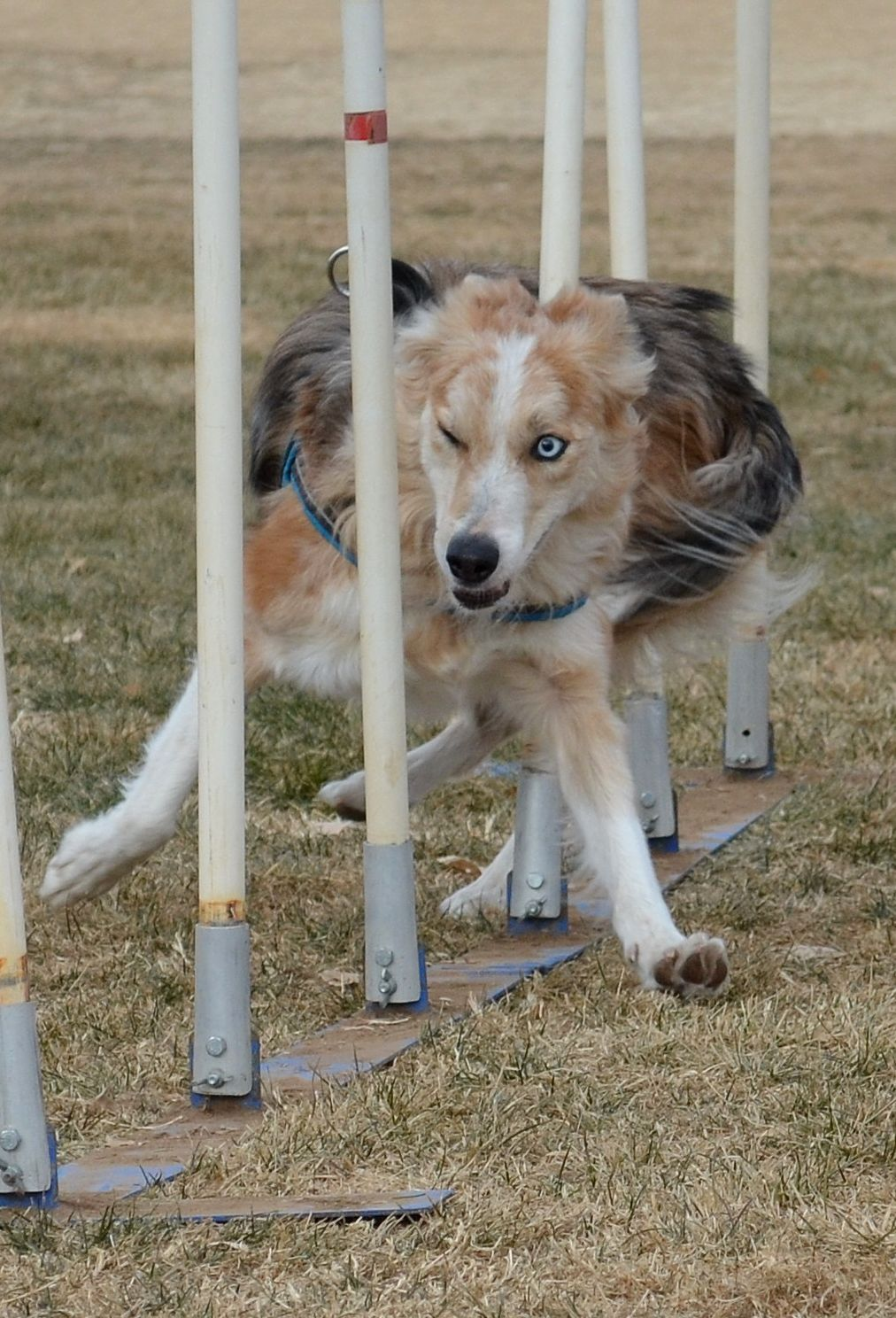 A picture of my border collie practicing