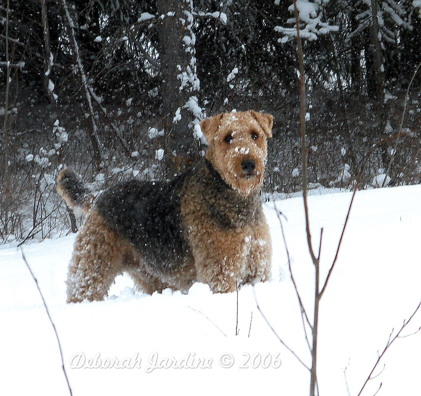 big terrier big fluffy airedale my keegan airdale dogs pet 5873