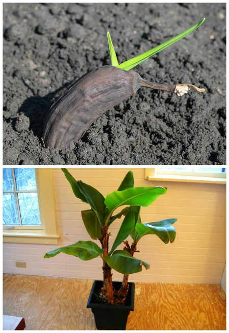 how to grow banana trees in pots garden hacks pinterest jardinage plantes et jardins. Black Bedroom Furniture Sets. Home Design Ideas
