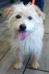 Carin Terriers Dogs For Adoption In Dfw Area Is An Adoptable