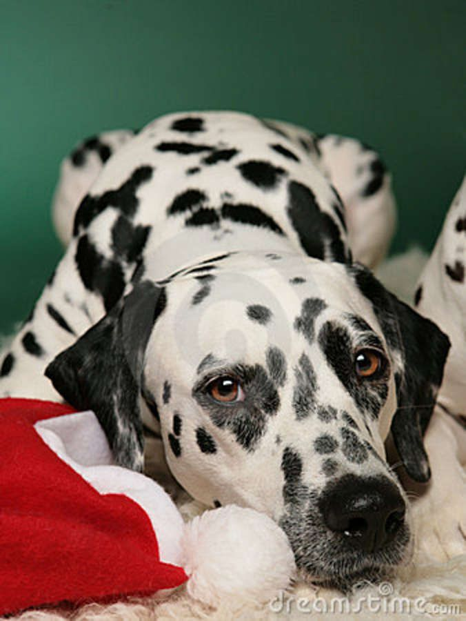 christmas dalmatian photos | Dalmatian Dreaming Of A White Christmas Stock Photo - Image: 16441770