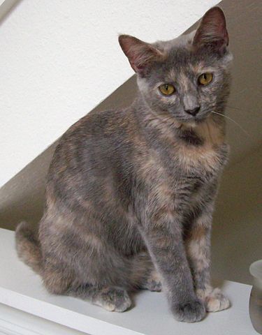 Dilute tortie my precious rarity looks just like this all de animals dilute tortie cats - Images of tortoiseshell cats ...