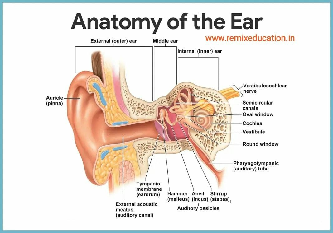 Anatomy Of The Ear Full Labelled Diagram In 2020 Ear Anatomy Human Anatomy And Physiology Anatomy And Physiology