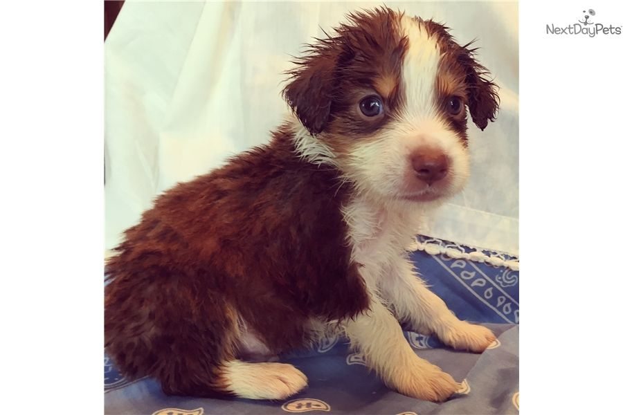 Patriot Adorable Little Red Tri Boy So Cute Miniature Australian Shepherd Australian Shepherd Puppies Miniature Australian Shepherd Puppies
