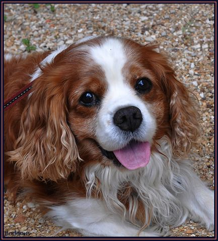 Animals in Chalus, France (our dog male cavalier king charles spaniel) - a photo by boddeus theo