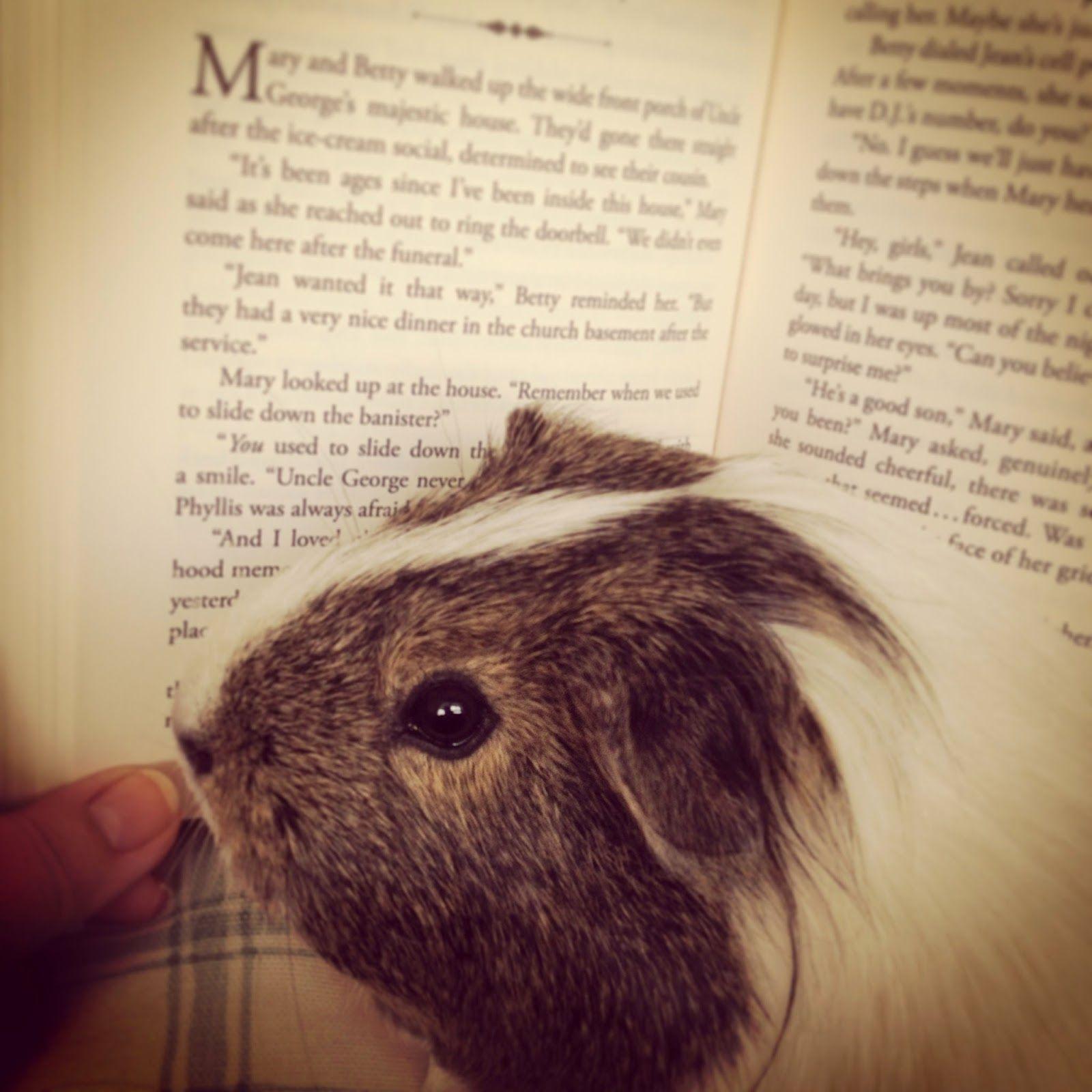 Wheek!  ✿ Buttercup reads a book ✿ #guineapig
