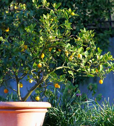 comment faire pousser un citronnier partir d 39 une graine le jardin id al pinterest. Black Bedroom Furniture Sets. Home Design Ideas