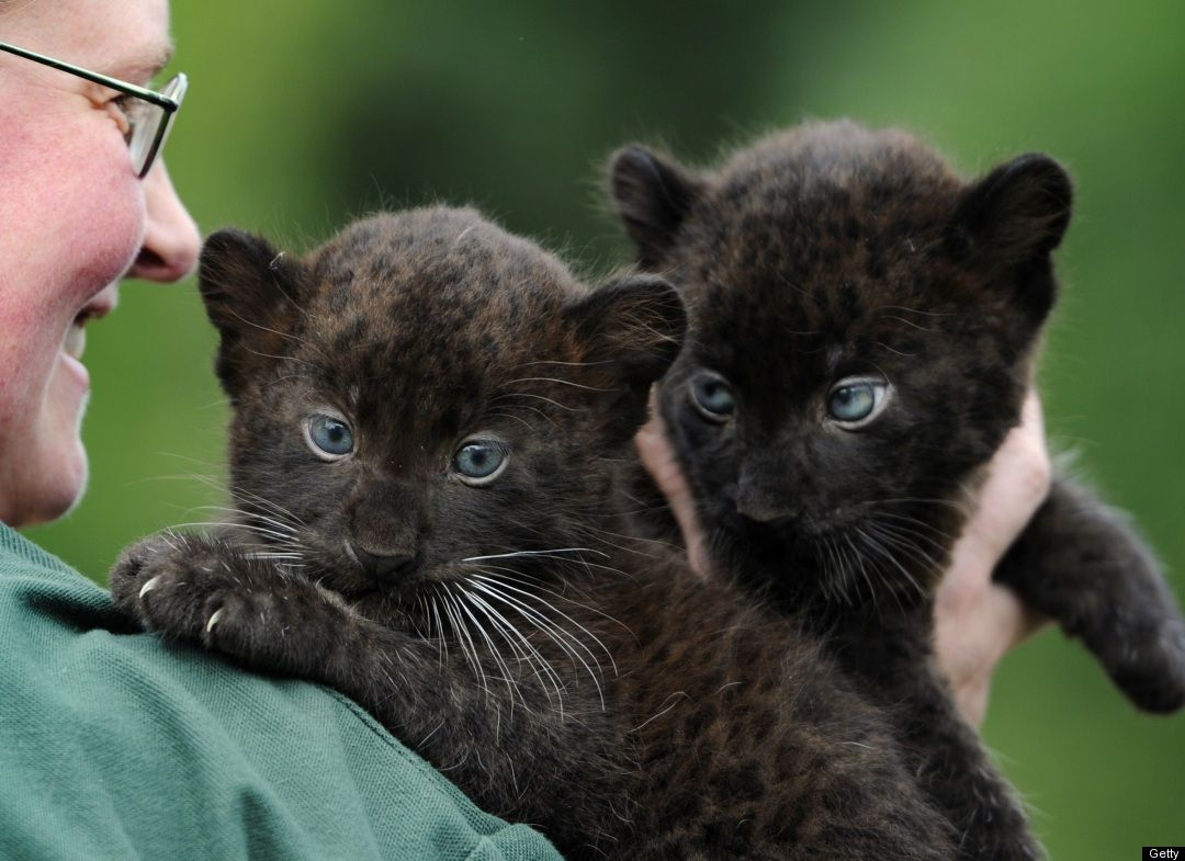 Photos This Week S Best In Animals Baby Black Panther Twins