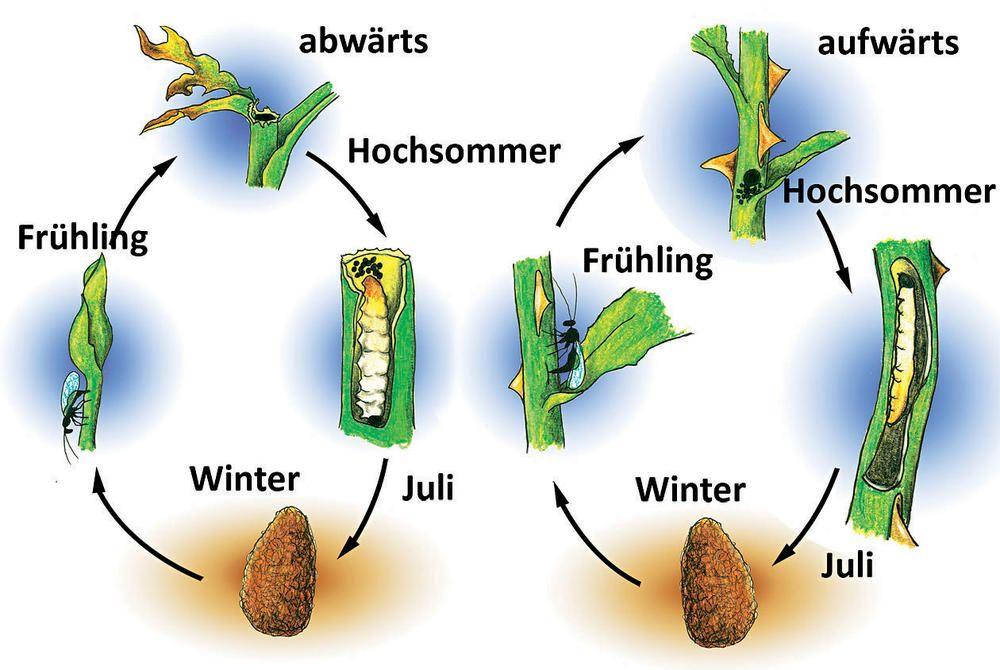 Rosentriebbohrer Spezieller Rosenschadling Rosenschadlinge Rosen Pflanzen Pflanzen