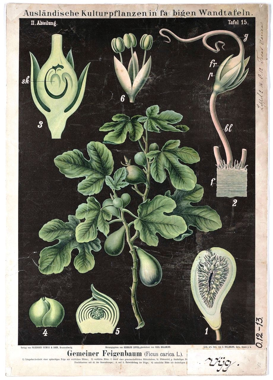 Anatomy Of Fig. Ficus Carica. German Educational Plate