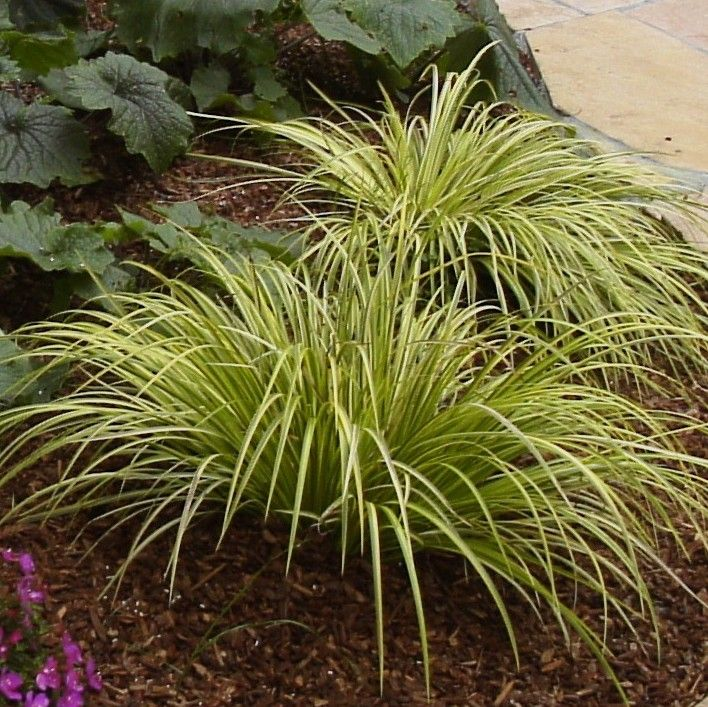 Acorus gramineus 39 ogon 39 golden variegated sweet flag for Variegated grass plant