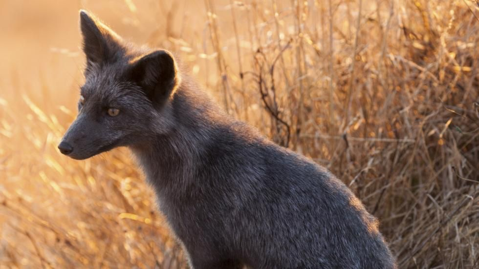 Rare Black Foxes Showcase Nature's Beauty and Variety
