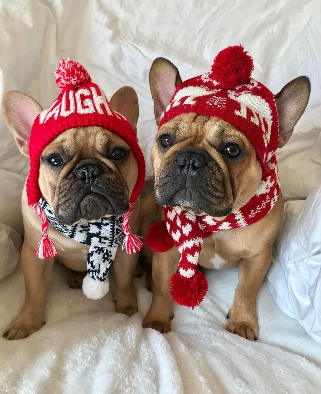 Frank Oliver French Bulldogs At At Christmas Cute French