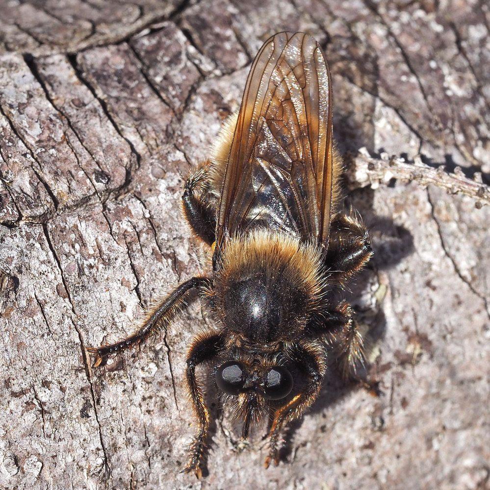 Gelbe Raubfliege Laphria Flava Von Sartorio Anna Dora Insecten
