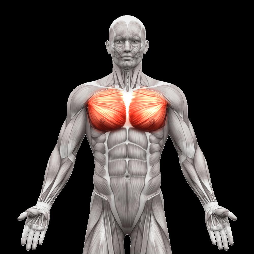 pectoralis-muscle.png (1000×1000) | Meridian Heart -summer :JOY ...