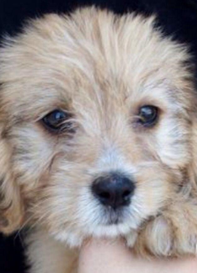 Poogle Puppy Beagle Poodle Mix Beagle Poodle Mix Poodle Mix