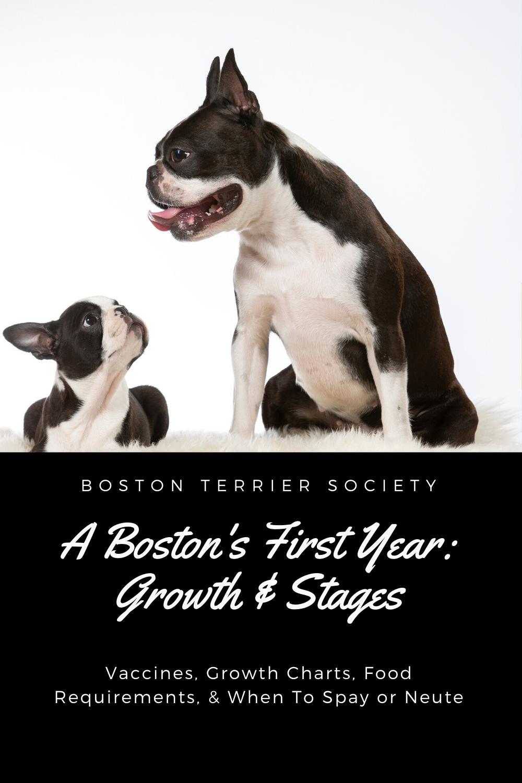 Pin on Boston Terrier