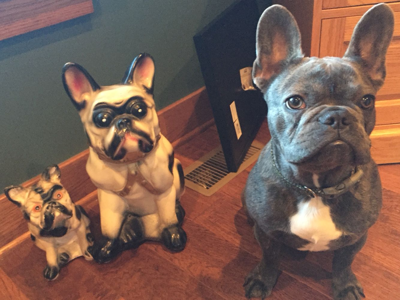 Frenchie Statue 7 Month Old Blue Brindle Doggy Brindle Animals