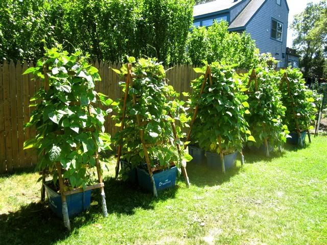 Pole Beans In Containers Gardening Ideas Pinterest 400 x 300