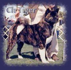 Tiger A Full Brindle Akita Akita Akita Dog Akita Inu Puppy