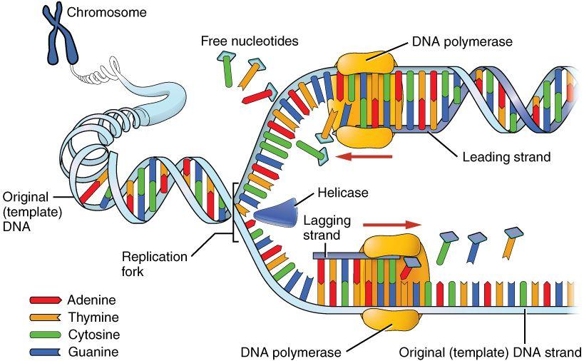 dna replication process google search genetics pinterest