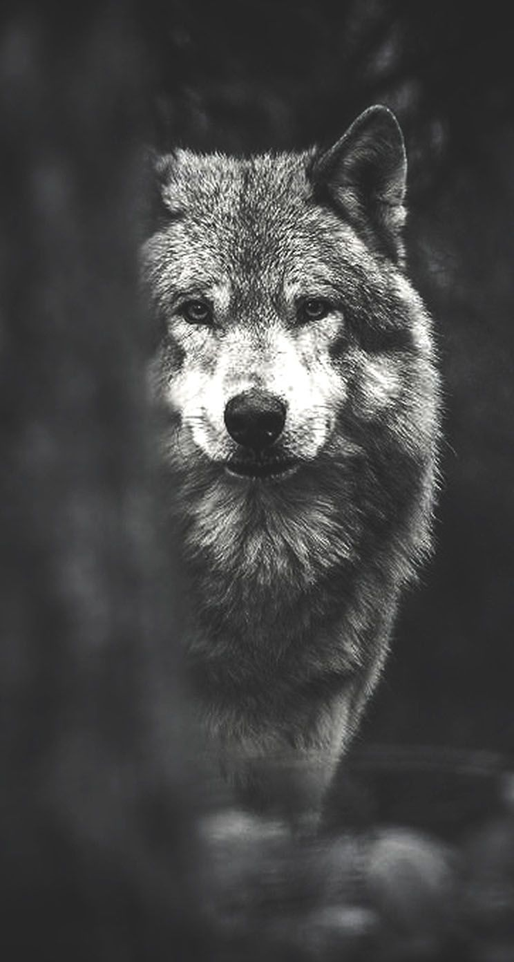 242 Best Wolf Wallpaper Images In 2019 Wolf Wallpaper Wolves White Wolf