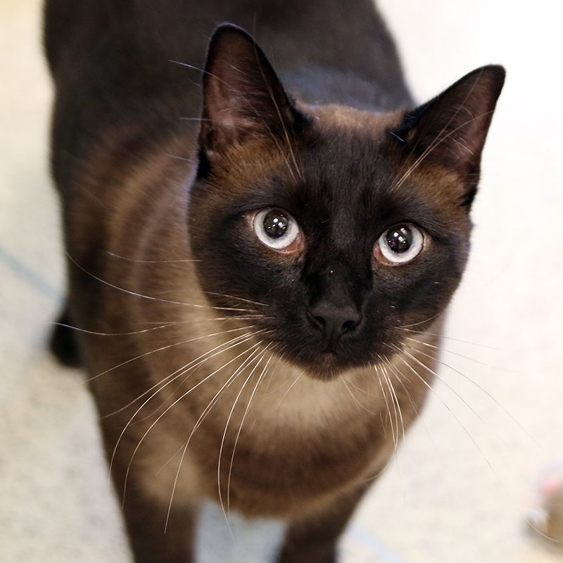 ADOPTED!!! Name Nolan ID 148405 Breed Siamese / Mix