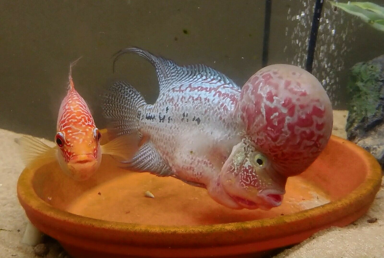 Flowerhorn pair (With images) Cichlid fish, Parrot fish