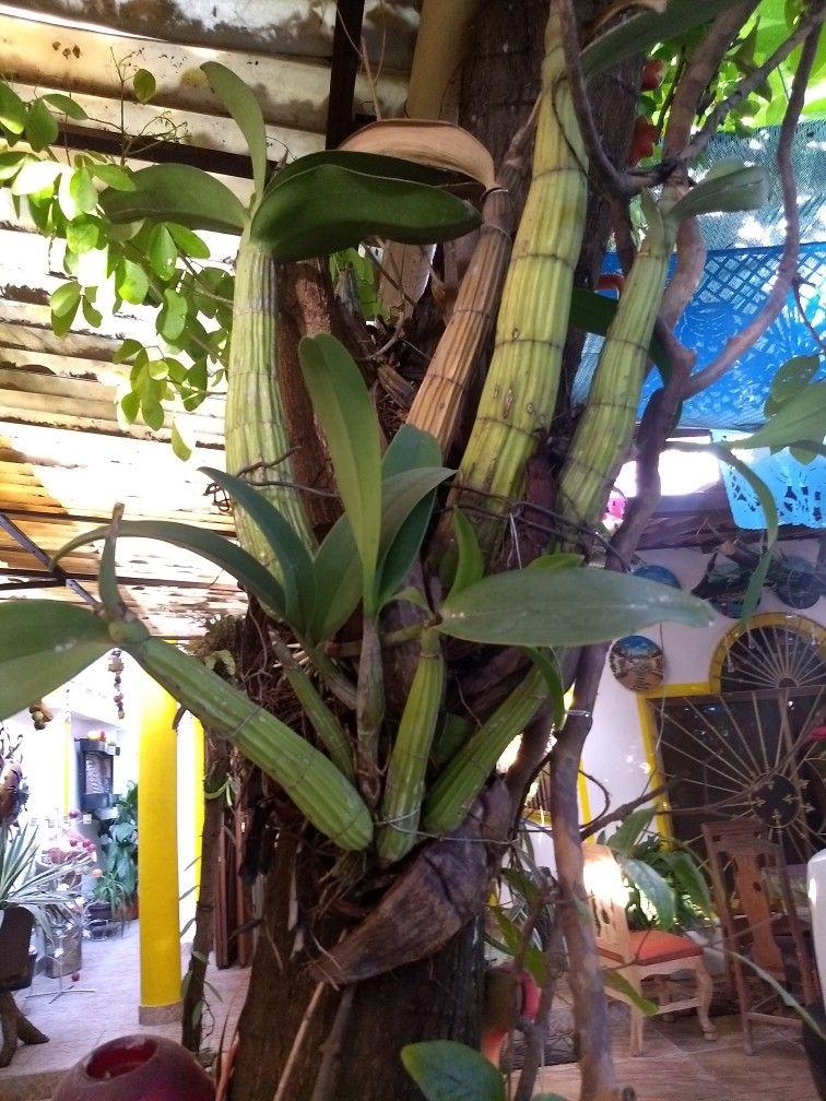 Orquídea pegada en árbol de Guamuchil.   Rosie\'s Garden en 2018 ...
