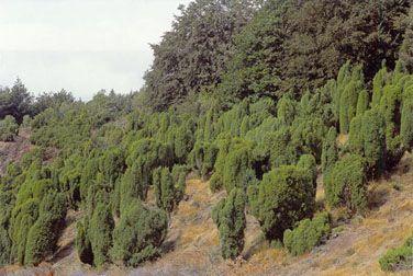 Enebærkrat på heder, overdrev eller skrænter. Juniperus communis vegetation på heder eller kalkrige græsarealer.  Tæt bestand af ene. Rye Sønderskov, Midtjylland. Foto: Bert Wiklund.  Enebærkrat på heder, skrænter eller overdrev. Naturtypen findes oftest, hvor kreaturer har afgræsset området og skabt mulighed for, at enebær kan spire og gro. Naturtypen kan på længere sigt blive skygget ihjel af træer, hvis der ikke sker en vis afgræsning.  Udbredelse. Naturtypen forekommer spredt og…