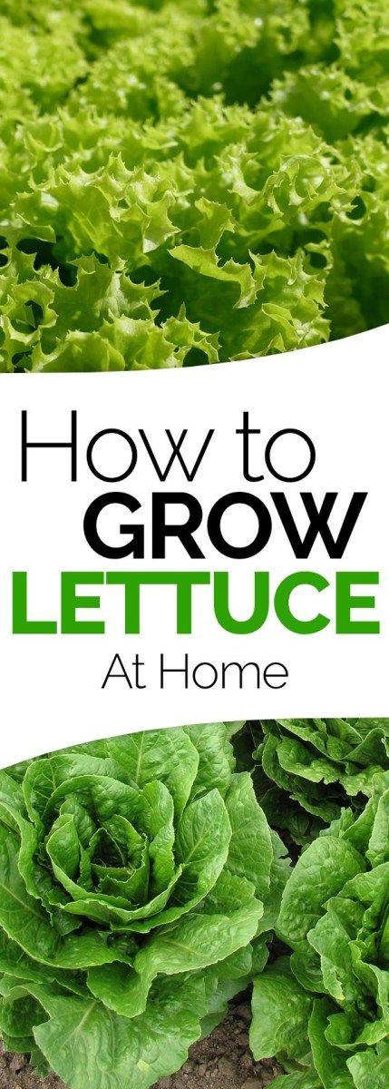 How To Grow Lettuce Growing Lettuce Growing Lettuce 400 x 300