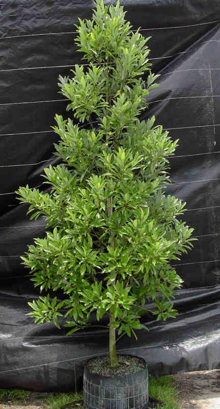 Magnolia Virginiana Garden Garden Trees Garden Landscaping