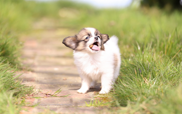 Download Wallpapers Continental Toy Spaniel White Fluffy Puppy Papillon Small Dog Cute Animals Pets Besthqwallpapers Com Papillon Dog Spaniel Puppies White Puppies